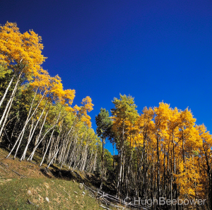 Golden Aspens | Beebower Productions