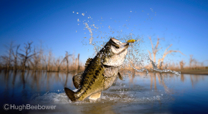 Big Bass | Beebower Productions