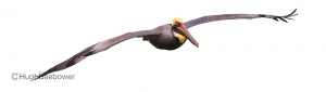 Gliding Brown Pelican | Beebower Productions