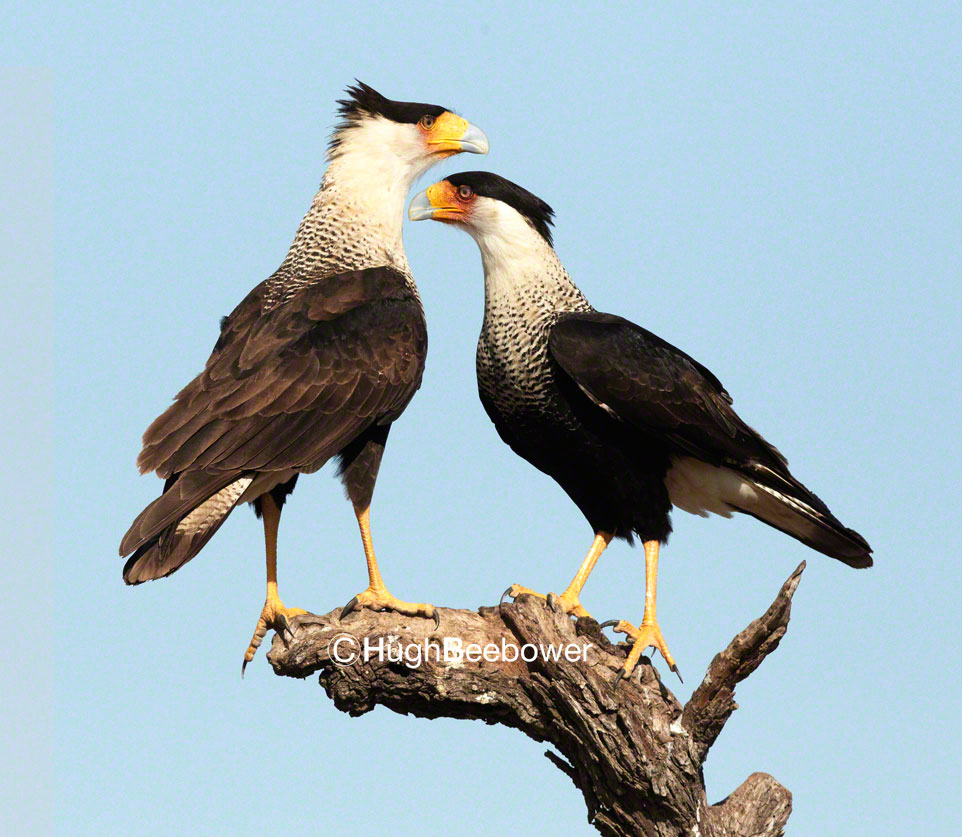 Crested Caracara Face Off