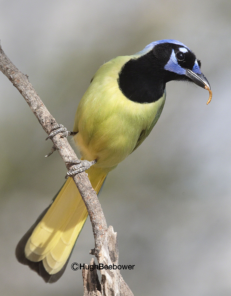 Green Jay with Worm