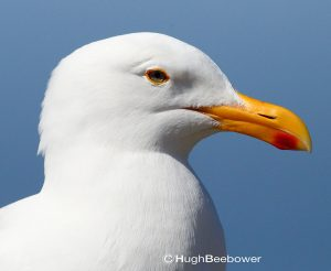 Herring Gull | Beebower Productions