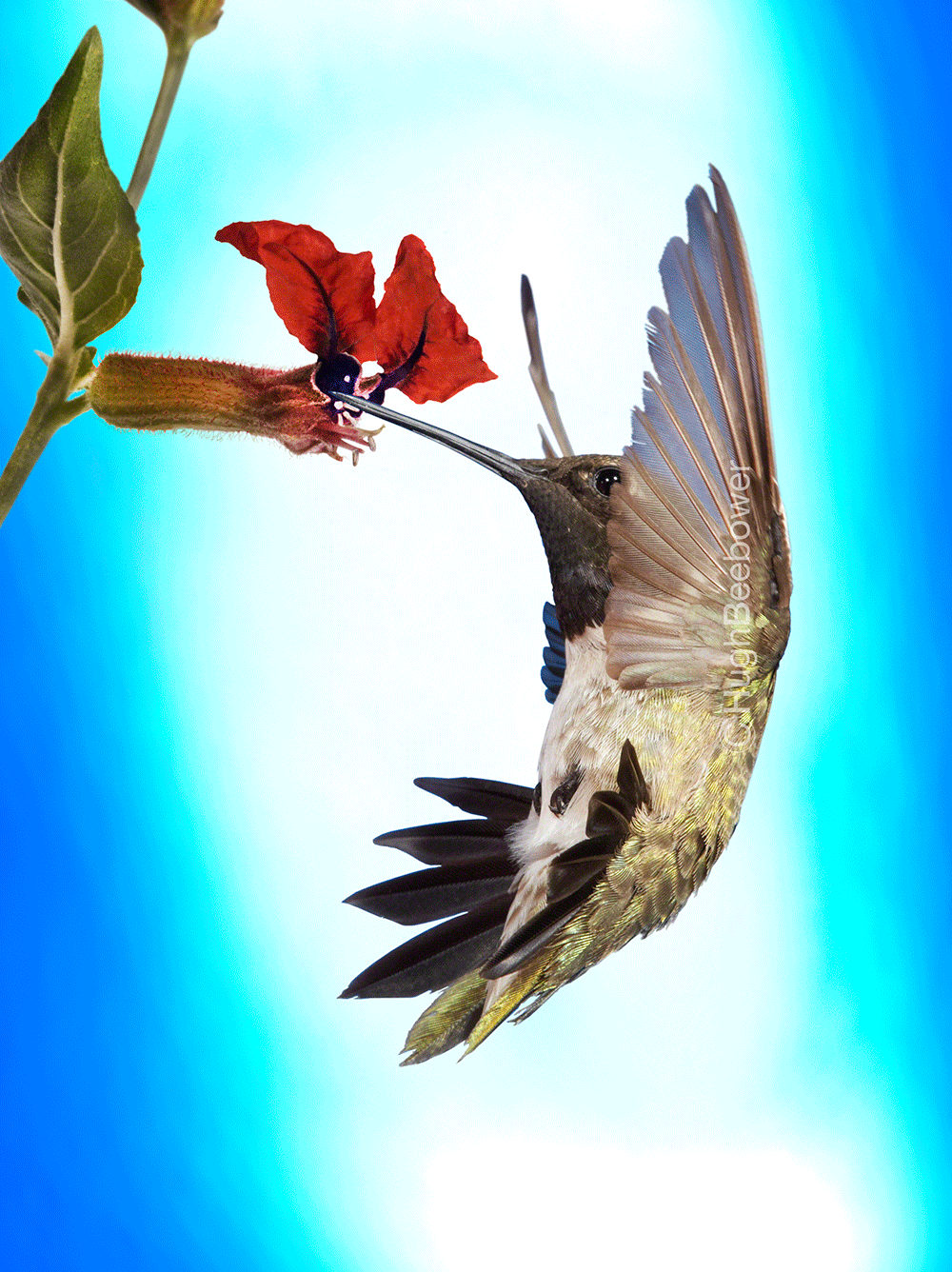 Black-Chinned Hummingbird at Cuphea Bloom | Beebower Productions