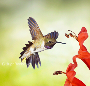 Black-Chinned Hummingbird   Beebower Productions