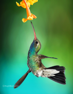 Broadbilled Hummingbird at Yellowbell Bloom | Beebower Productions