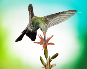 Broad-Billed Hummingbird at Catchfly Bloom | Beebower Productions