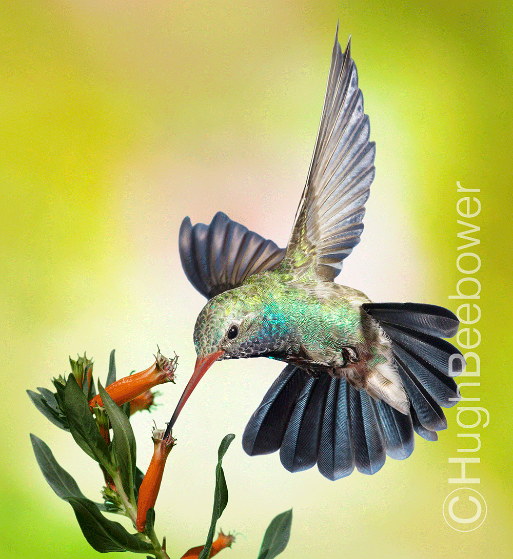 Broad-Billed Hummingbird at Mexican Cigar Bloom | Beebower Productions