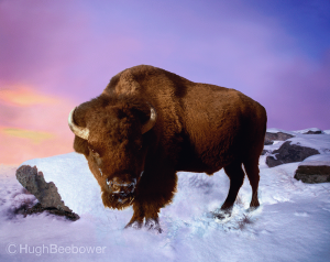 Buffalo on a Snowy Morning | Beebower Productions
