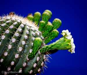 Cactus Bloom | Beebower Productions