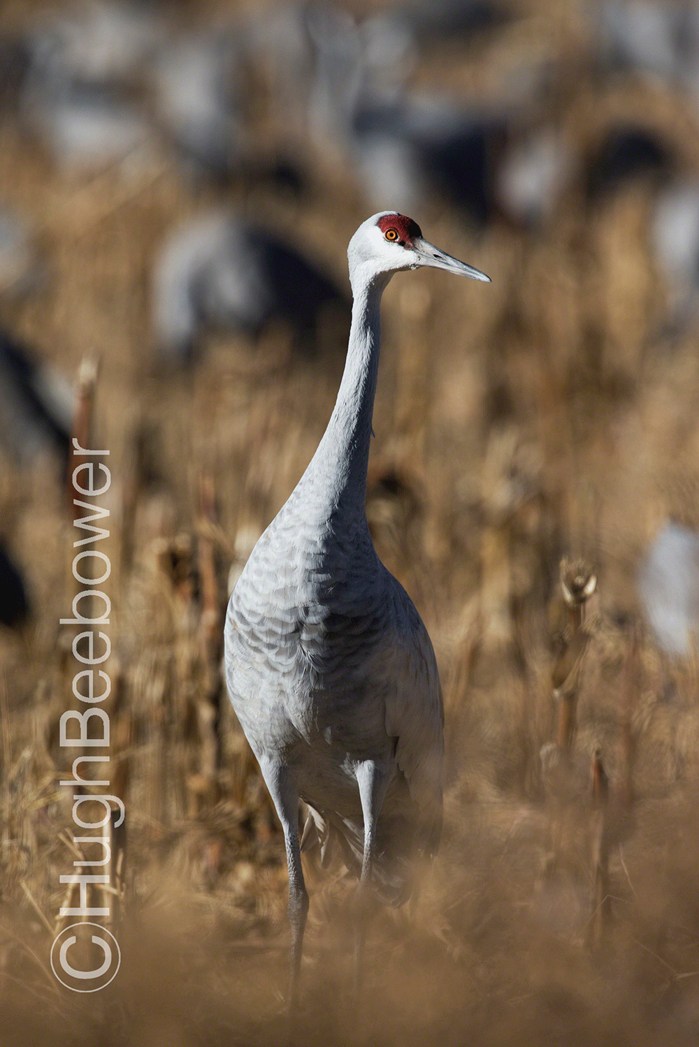 Sandhill Crane in a Cornfield | Beebower Productions