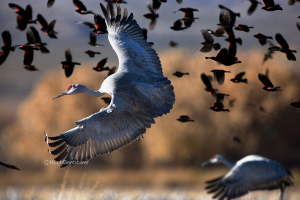 Sandhill Crane and Red-winged Blackbirds   Beebower Productions