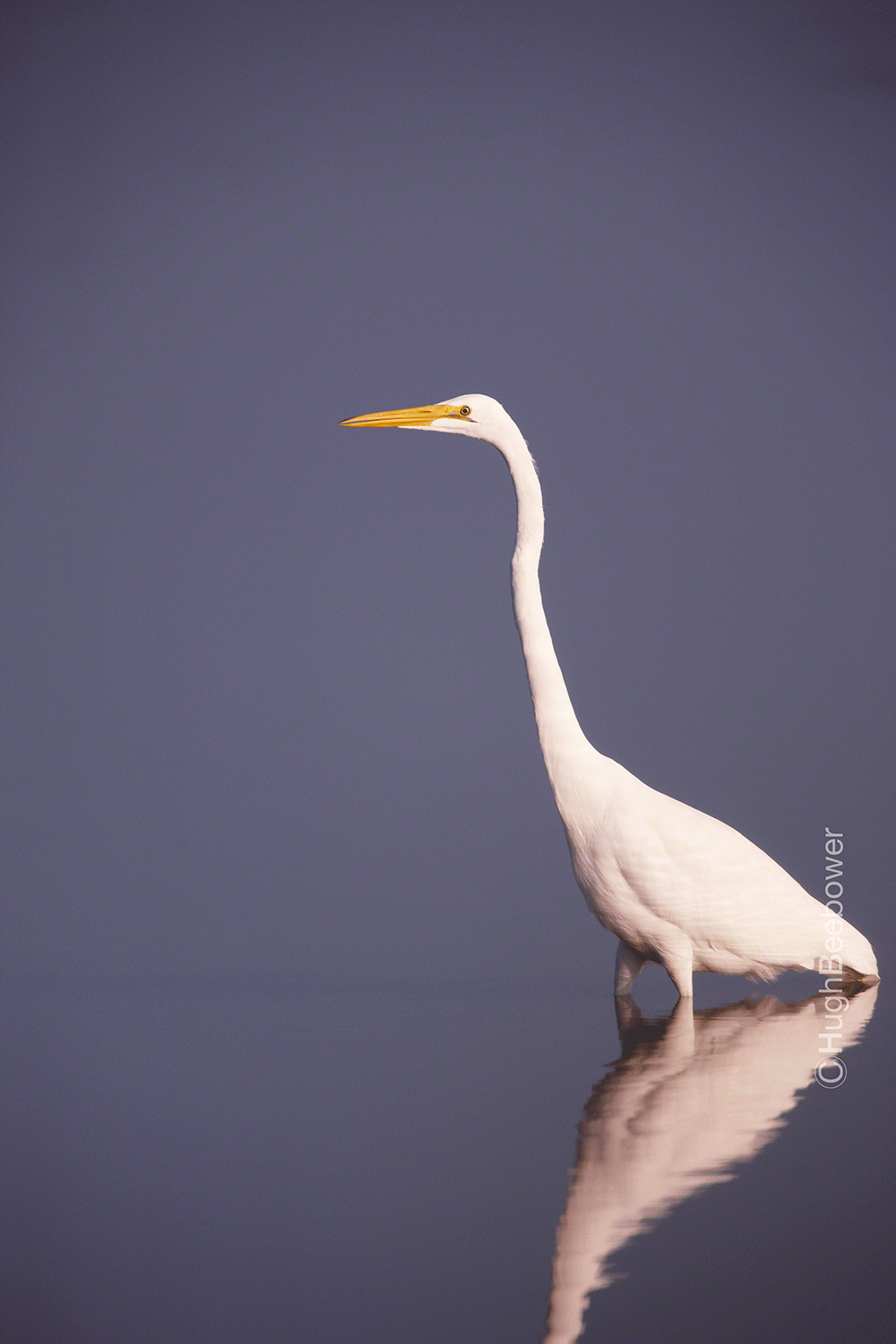 Great Egret | Beebower Productions