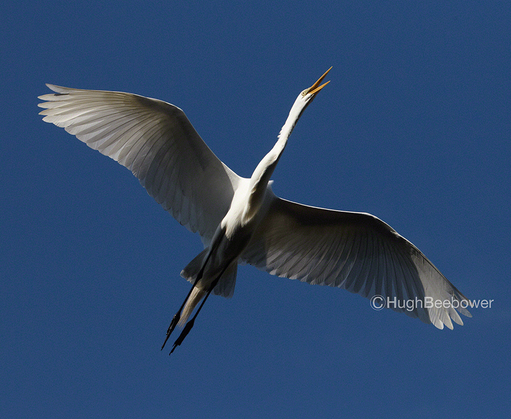 Egret in Flight | Beebower Productions