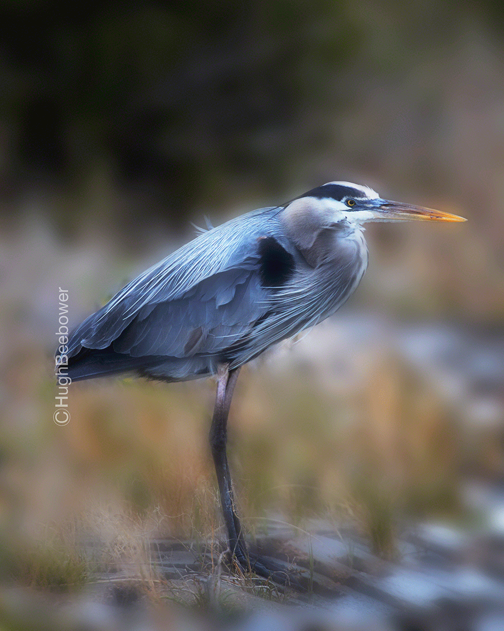 Great Blue Heron | Beebower Productions