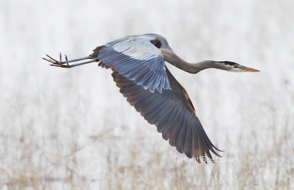 Great Blue Heron in Flight | Beebower Productions