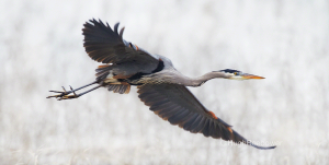 Great Blue Heron Flying   Beebower Productions