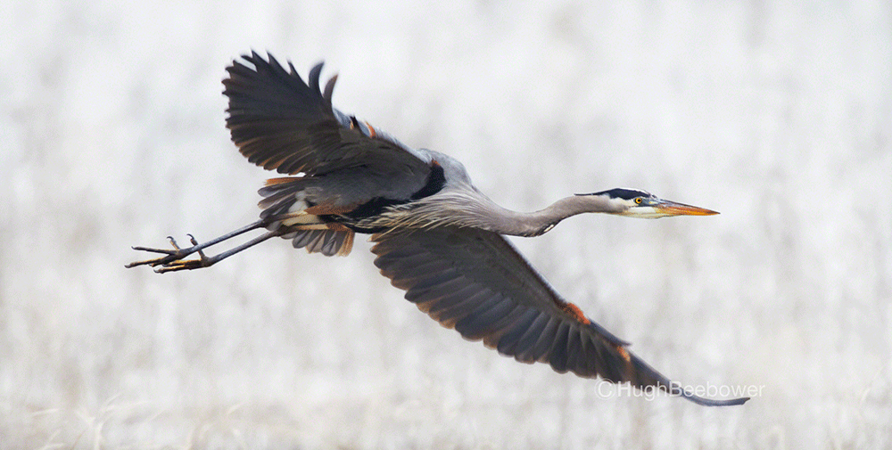 Great Blue Heron Flying | Beebower Productions