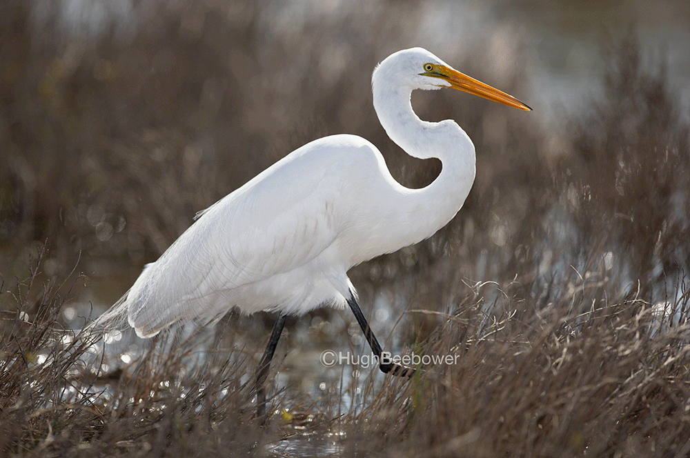 Great Egret 2 | Beebower Productions