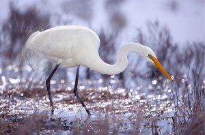 Great Egret 4 | Beebower Productions