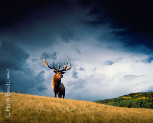 High Country Elk | Beebower Productions