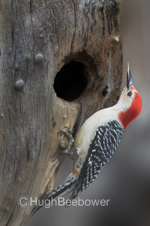 Red-Bellied Woodpecker | Beebower Productions