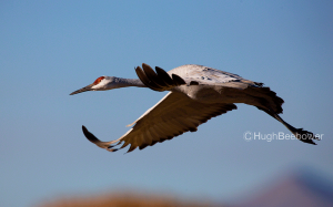 Sand Hill Crane | Beebower Productions