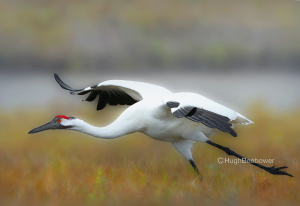 Whooping Crane Taking Off | Beebower Productions