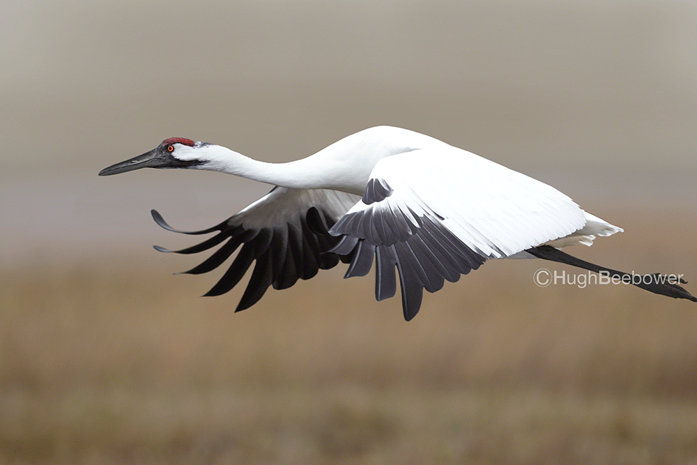 Whooping Crane in Flight | Beebower Productions