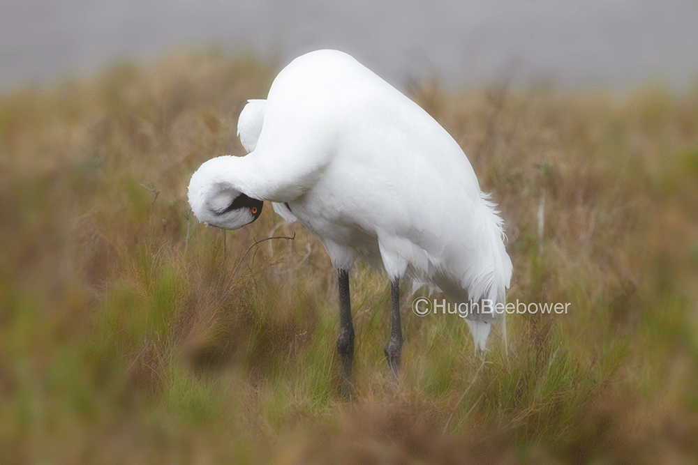 Whooping Crane Preening | Beebower Productions