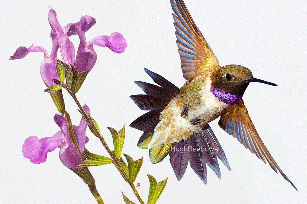 Black-Chinned Hummingbird and Autumn Sage Bloom | Beebower Productions