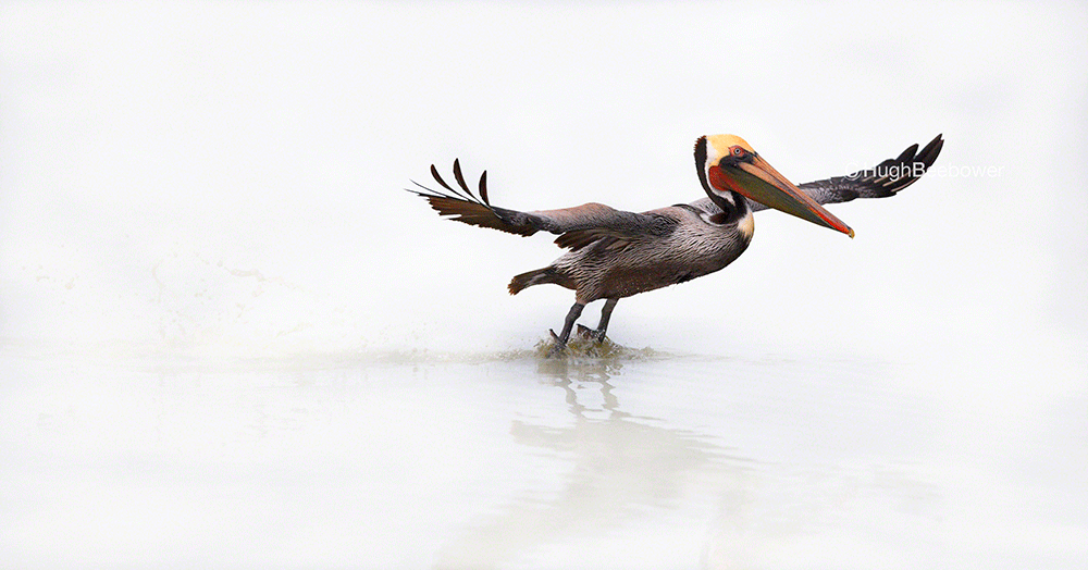 Brown Pelican Landing | Beebower Productions