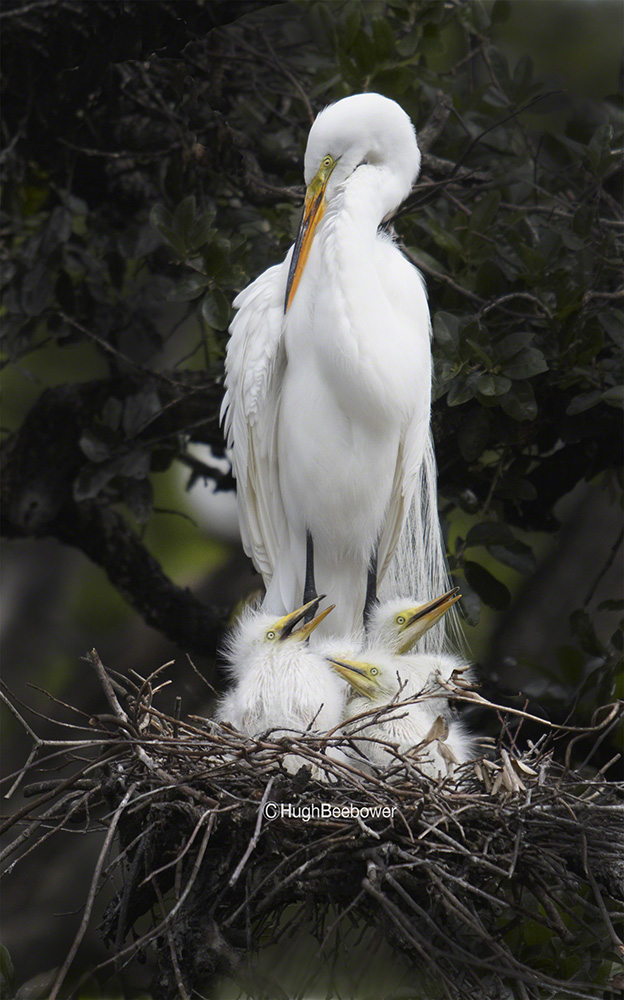 Egret with Chicks | Beebower Productions