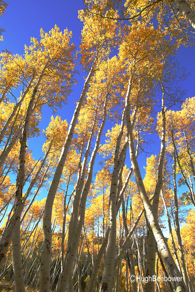 Glowing Aspens | Beebower Productions, Inc.