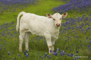 Calf in Bluebonnets | Beebower Productions, Inc.
