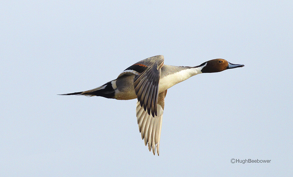 Pintail Power   Beebower Productions, Inc.