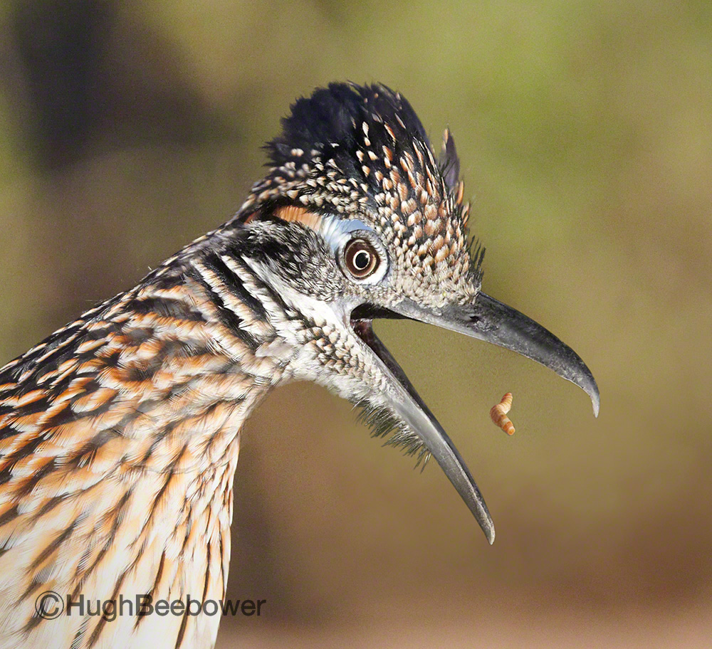 Roadrunner Portrait | Beebower Productions, Inc.