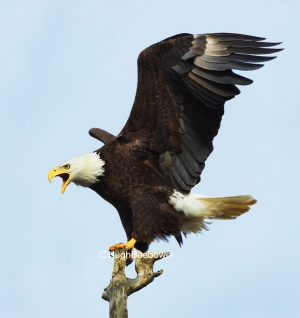 Perching Bald Eagle | Beebower Productions